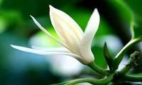 ベトナムの季節の花を感じされる曲