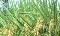 Singapur tiene muchas ventajas para la exportación del arroz vietnamita