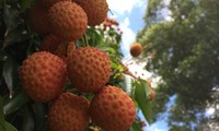 Vietnam's litchi exports open opportunities for exports of other farm produce