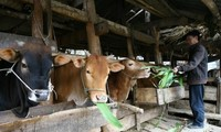 Raising cows in Ha Giang Karst Plateau
