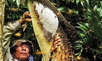 Beekeeping to get rich and respond to climate change in Mekong Delta