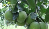 Phung Hiep farmers in Hau Giang promote Xoan orange brand