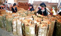 Improved life in cinnamon growing province of Yen Bai