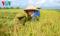 Vietnam applies SRP rice production standards to increase competitiveness