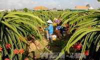 Vietnam exports first batch of dragon fruit to Australia