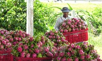 Vietnamese dragon fruit available on Australian shelves