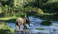 Dak Lak tries to conserve its elephant herds