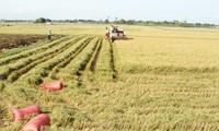 ニントゥアン省、大規模な田んぼづくりを進める