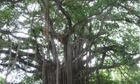 海防市13须榕树被列入越南遗产树名单