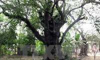 清化省两棵古黄柿树被列入越南遗产树名录