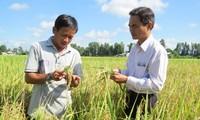 药物大米 – 越南大米生产业的新发展方向