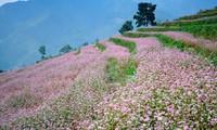 第一次荞麦花节在河江省同文县岩石高原举行