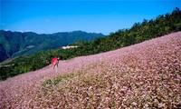 2015年第一次河江省同文岩石高原荞麦花节开幕