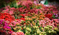 花卉节城市——大叻市