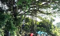 平定省怀恩县山榕被列入越南遗产树名单