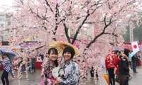 2016年下龙樱花节将于3月18日开幕