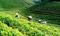 太原省大慈县举行茶叶节