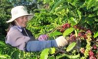 巴西进口越南产罗布斯塔咖啡豆