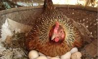 胡志明市开展禽、蛋管理项目