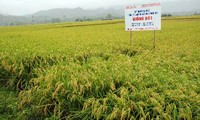 Big rice fields result in high economic efficiency for Yen Bai province