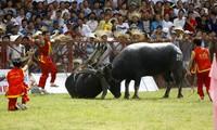 Pengumuman Festival Adu Kerbau Do Son sebagai pusaka budaya non-bendawi nasional