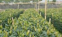 造访河内市及市郊的花村了解越南人春节期间的赏花习俗