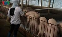 越南向中国出口猪肉情况