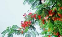 美丽的红色凤凰花