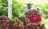 越南火龙果实现可持续出口
