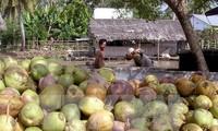 越南茶荣省干椰子价格一路上涨