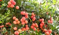 Vietnam begrüßt Importlizenz für vietnamesisches Obst durch USA