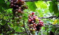 Bauern in Ninh Thuan entwickeln den Weinanbau