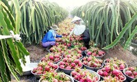 Pertanian Vietnam: Mengidentifikasikan tantangan untuk mencapai pertumbuhan
