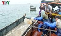 Pekerjaan memanfaatkan ubur-ubur di kabupaten Co To, provinsi Quang Ninh