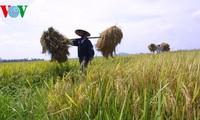 Produksi beras menurut standar internasional untuk meningkatkan daya saing