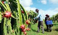 Provinsi Binh Thuan menanam buah naga bersih untuk menyambut bola pasar berkelas