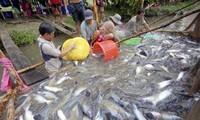 Tái cấu trúc ngành sản xuất cá tra