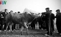 Khám phá phiên chợ trâu bò Đồng Văn
