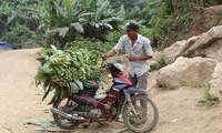 Nông dân vùng biên Huổi Luông, Lai Châu thoát nghèo nhờ trồng chuối