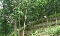 Tỉnh Điện Biên giảm nghèo từ cây cao su