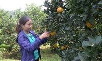 Nông dân huyện Cao Phong, tỉnh Hòa Bình, làm giàu từ cây cam