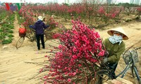 Supply of ornamental trees and flowers for Tet celebrations
