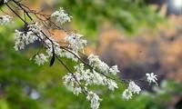 一组有关河内及西北省份3月花季的歌曲