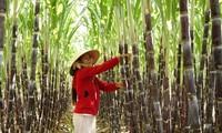 Edificación del nuevo campo en Gia Lai: Cambios basados en ventajas existentes