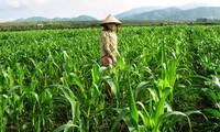 Cambio de cultivo alivia la pobreza en Bac Kan