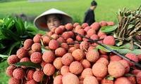 Lichis vietnamitas conquistan el paladar de los franceses