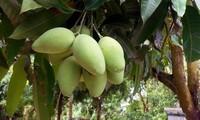 Mangos vietnamitas a la venta por primera vez en Japón