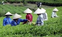 Cultivo del té con criterios sanitarios de VietGap brinda beneficios económicos para Tuyen Quang