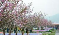 Inaugurado Festival de Flores de Cerezo y Ochna de Yen Tu