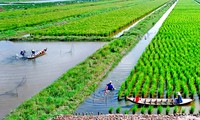 Cultivo de arroz-camarón: nuevo modelo de producción eficiente y sostenible
